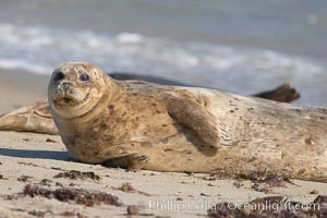 Pacific harbor seal, Phoca vitulina richardsi, La Jolla, California