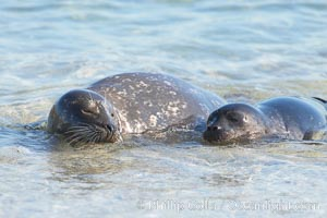 Pacific harbor seal, mother and pup, Childrens Pool, Phoca vitulina richardsi, La Jolla, California
