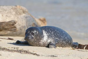 Pacific harbor seal pup, Childrens Pool, Phoca vitulina richardsi, La Jolla, California