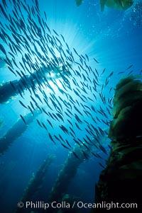 Jack mackerel schooling in kelp, Trachurus symmetricus, Macrocystis pyrifera, San Clemente Island