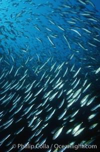 Jack mackerel schooling amid kelp forest, Trachurus symmetricus, Macrocystis pyrifera, San Clemente Island