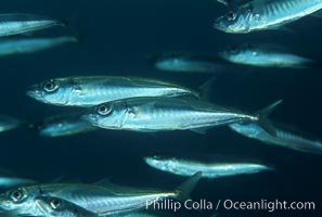 Image 05133, Jack mackerel schooling. San Clemente Island, California, USA, Trachurus symmetricus, Phillip Colla, all rights reserved worldwide. Keywords: animal, california, california baja california, channel islands, cluster, fish, fish behavior, fishes, group, indo-pacific, jack mackeral, mackerel, marine, marine fish, nature, ocean, oceans, pacific, pacific jack mackerel, san clemente island, school, schooling, sea, teleost fish, trachurus symmetricus, underwater, usa, wildlife.