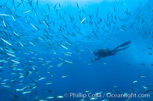 Jack mackerel schooling around a diver.  Summer. Guadalupe Island (Isla Guadalupe), Baja California, Mexico, Trachurus symmetricus, natural history stock photograph, photo id 09648