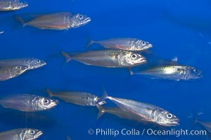 Pacific mackerel.  Long exposure shows motion as blur.  Mackerel are some of the fastest fishes in the ocean, with smooth streamlined torpedo-shaped bodies, they can swim hundreds of miles in a year, Scomber japonicus