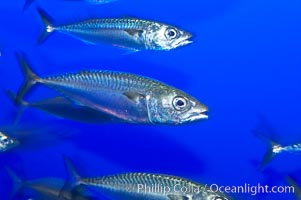 Pacific mackerel.  Long exposure shows motion as blur.  Mackerel are some of the fastest fishes in the ocean, with smooth streamlined torpedo-shaped bodies, they can swim hundreds of miles in a year., Scomber japonicus, natural history stock photograph, photo id 14927
