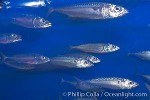 Pacific mackerel.  Long exposure shows motion as blur.  Mackerel are some of the fastest fishes in the ocean, with smooth streamlined torpedo-shaped bodies, they can swim hundreds of miles in a year., Scomber japonicus, natural history stock photograph, photo id 14026