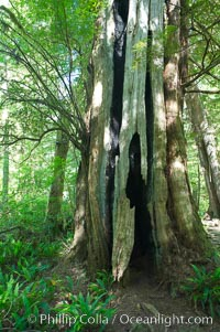 An enormous red cedar tree has been hit by lightning and burn through its core all the way to the ground, and still survives!  The Big Tree Trail on Meares Island, temperate rainforest home to huge red cedar and spruce trees, Meares Island Big Trees Trail, Tofino, British Columbia, Canada