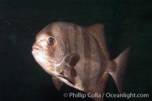 Image 07933, Pacific spadefish., Chaetodipterus zonatus, Phillip Colla, all rights reserved worldwide. Keywords: animal, chaetodipterus zonatus, fish, indo-pacific, marine fish, pacific spadefish, spadefish batfish, underwater.