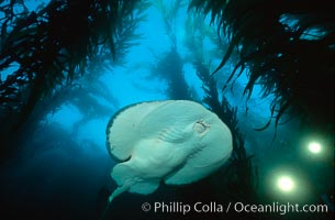 Pacific torpedo ray in kelp forest, filming lights. Santa Rosa Island, California, USA, Torpedo californica, Macrocystis pyrifera, natural history stock photograph, photo id 01009