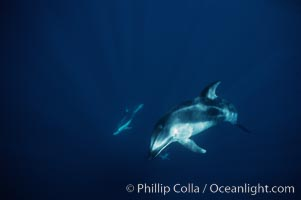 Pacific white sided dolphin. San Diego, California, USA, Lagenorhynchus obliquidens, natural history stock photograph, photo id 04954