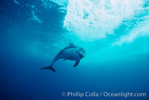 Pacific white sided dolphin. San Diego, California, USA, Lagenorhynchus obliquidens, natural history stock photograph, photo id 04958