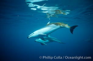 Pacific white sided dolphin, Kelp carry. San Diego, California, USA, Lagenorhynchus obliquidens, natural history stock photograph, photo id 00045