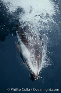 Pacific white sided dolphin, Lagenorhynchus obliquidens, San Diego, California