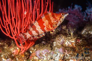Painted greenling and red gorgonian, Monterey Bay NMS, Oxylebius pictus, Lophogorgia chilensis