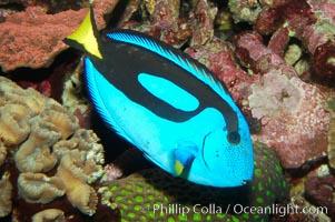 Palette surgeonfish, Paracanthurus hepatus