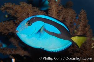 Palette surgeonfish, juvenile, Paracanthurus hepatus