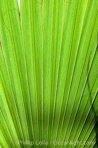 Palm tree fans, leaf, leaves, detail