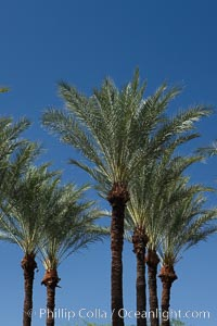 Palm trees and blue sky, downtown Phoenix