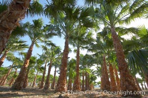 Palm trees on a tree farm, looking like a forest of palms. Borrego Springs, California, USA, natural history stock photograph, photo id 20475