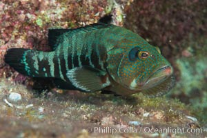 Panama Graysby Epinephelus panamensis, Sea of Cortez, Isla San Diego, Baja California, Mexico