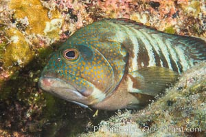 Panama Graysby Epinephelus panamensis, Sea of Cortez. Isla San Francisquito, Baja California, Mexico, natural history stock photograph, photo id 33659