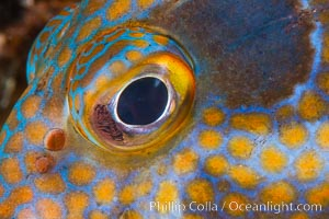 Panama Graysby Eye Detail, Epinephelus panamensis, Sea of Cortez, Isla Cayo, Baja California, Mexico