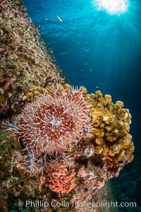 Panamic crown of thorns sea star, Sea of Cortez, Baja California, Mexico