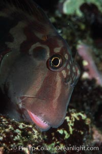 Panamic fanged blenny, Ophioblennius steindachneri