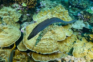 Panamic Green Moral Eel, Gymnothorax castaneus, Clipperton Island. France, Gymnothorax castaneus, natural history stock photograph, photo id 32986