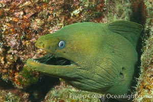 Panamic Green Moray Eel, Sea of Cortez, Baja California, Mexico. Sea of Cortez, Baja California, Mexico, Gymnothorax castaneus, natural history stock photograph, photo id 27469