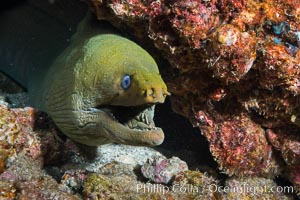 Panamic Green Moray Eel, Gymnothorax castaneus, Punta Alta, Baja California, Mexico
