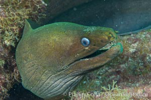 Panamic Green Moray Eel, Sea of Cortez, Baja California, Mexico. Isla San Diego, Baja California, Mexico, natural history stock photograph, photo id 33549