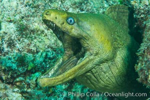 Panamic Green Moray Eel, Sea of Cortez, Baja California, Mexico. Isla San Francisquito, Baja California, Mexico, natural history stock photograph, photo id 33658