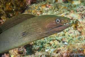 Panamic Green Moray Eel, Sea of Cortez, Baja California, Mexico, Isla Las Animas