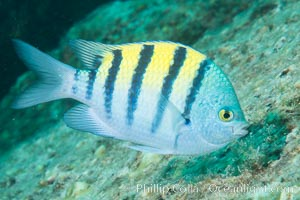 Panamic sargeant major fish, Sea of Cortez, Baja California, Mexico. Isla San Francisquito, natural history stock photograph, photo id 33653