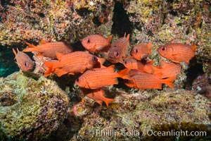 Panamic Soldierfish, Suwanee Reef, Sea of Cortez. Baja California, Mexico, natural history stock photograph, photo id 32479