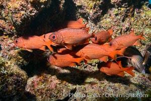 Panamic Soldierfish, Suwanee Reef, Sea of Cortez. Baja California, Mexico, natural history stock photograph, photo id 32480