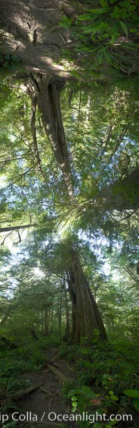 Panorama of the Big Tree Trail on Meares Island, temperate rainforest home to huge red cedar and spruce trees, Meares Island Big Trees Trail, Tofino, British Columbia, Canada