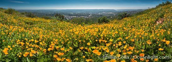 Panorama of California Poppies, Rancho La Costa, Carlsbad. USA, Eschscholzia californica, natural history stock photograph, photo id 33164