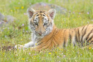 Siberian tiger cub, male, 10 weeks old., Panthera tigris altaica, natural history stock photograph, photo id 16022