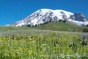 Mount Rainier rises above fields of wildflowers in Paradise Meadows, summer, Mount Rainier National Park, Washington