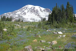 Mount Rainier rises above Paradise Meadows, wildflowers, summer, Mount Rainier National Park, Washington