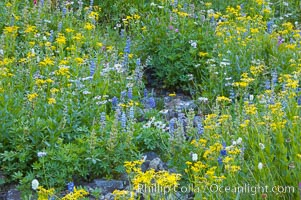 Paradise Park hosts a rich display of wildflowers each summer. Paradise Meadows, Mount Rainier National Park, Washington, USA, natural history stock photograph, photo id 13915