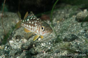 Juvenile kelp bass (calico bass) hiding amidst rocks on the reef. San Clemente Island, California, USA, Paralabrax clathratus, natural history stock photograph, photo id 07068
