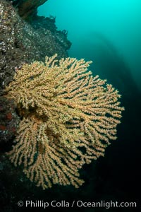 Parasitic zoanthid anemones cover and encrust and overwhelm a golden gorgonian, Catalina Head, Parazoanthus lucificum, Savalia lucifica, Catalina Island, California