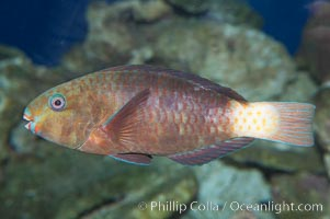 Unidentified parrotfish