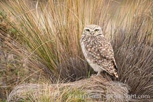 Patagonian burrowing owl, Athene cunicularia, Valdes Peninsula, Argentina, Puerto Piramides, Chubut