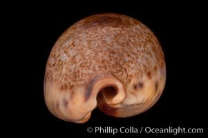 Pear-shaped Cowrie, Cypraea pyriformis