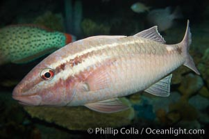 Pearly goatfish, Parapeneus margaritatus