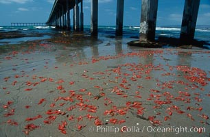 Pelagic red tuna crabs, washed ashore to form dense piles on the beach. Ocean Beach, California, USA, Pleuroncodes planipes, natural history stock photograph, photo id 06076